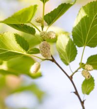 Maulbeeren hängen am Baum